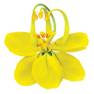 Moringa Flower Image 300pix